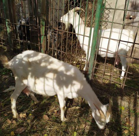 Продаються кози!!!