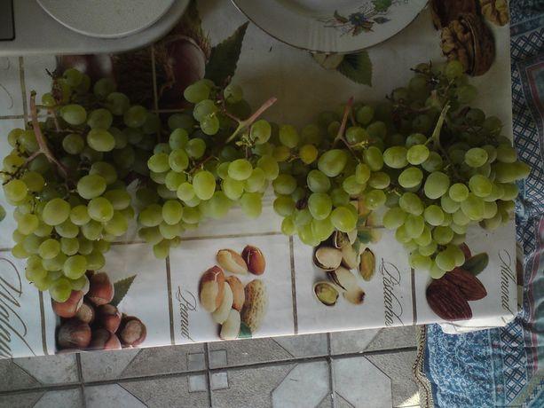 Черенки, Саженцы Винограда