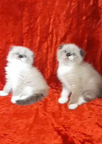 Вислоушки котята
