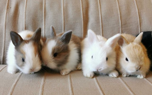 KIT Coelhos anões mini holandês, teddy e minitoy super meigos