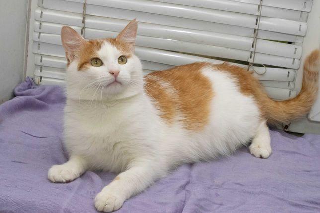Нежная нежность шикарный крупный кот Рыженький ( 1 год) кастрирован