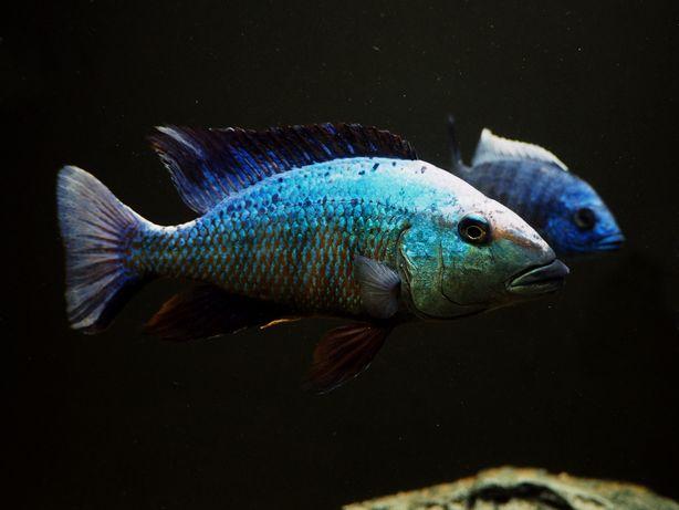 Fossorochromis rostratus pyszczak malawi