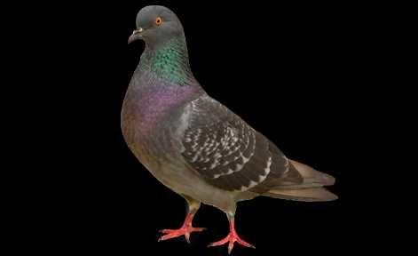 Dodatki paszowe dla Gołębii, przeciwbiegunkowe, witaminy gołąb, loty