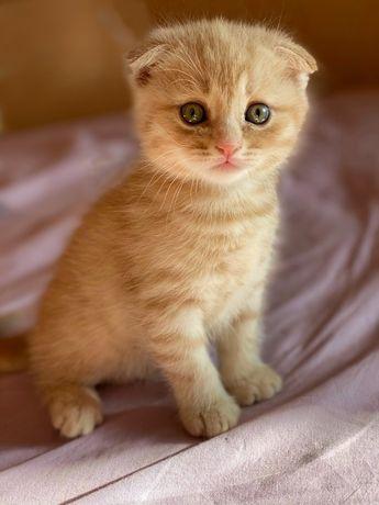 Шотландский котенок кремового цвета