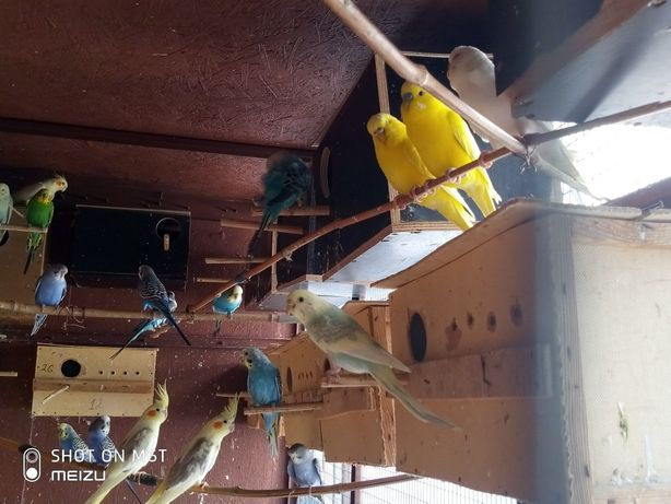Молодые валнистие попугайчики.