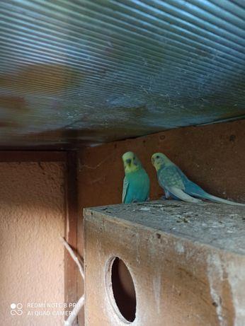 Papugi faliste para