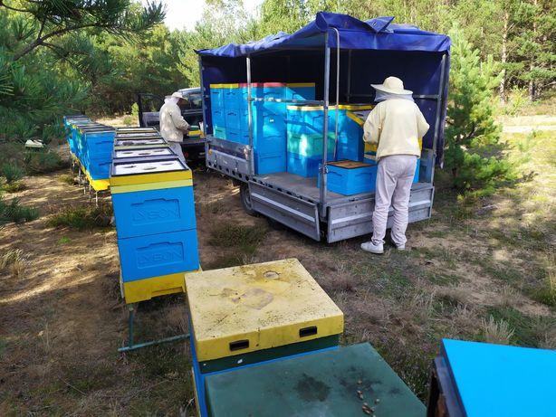 Sprzedam pszczoły, rodziny pszczele na ramce wielkopolskiej