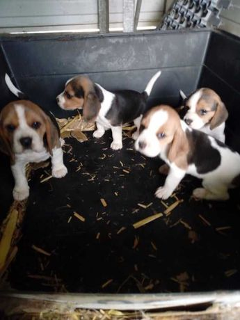 Beagles tricolor puros