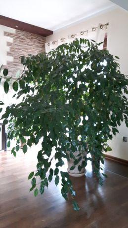 Duże drzewko kwiat Fikus Benjamin