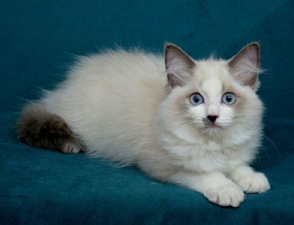 ŚLICZNA kotka Ragdoll po SUPREME Champion