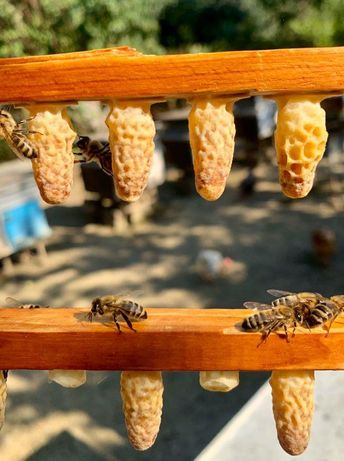 Carnika Peschetz. Пчеломатки. С апреля-октябрь. (F-1).