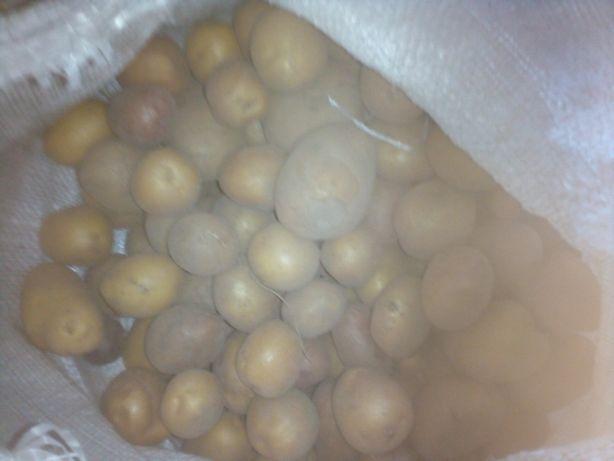 Продам посадкову картоплю