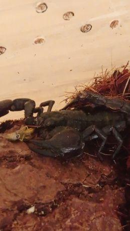 Skorpion heterometrus silenus