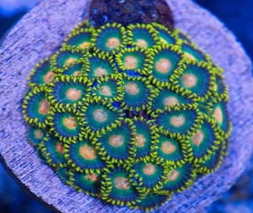 Zoanthus green bay packers akwarium morskie szczepki wysyłka małopolip