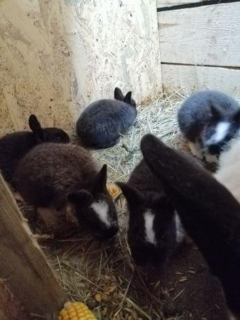 Sprzedam małe króliki mieszance