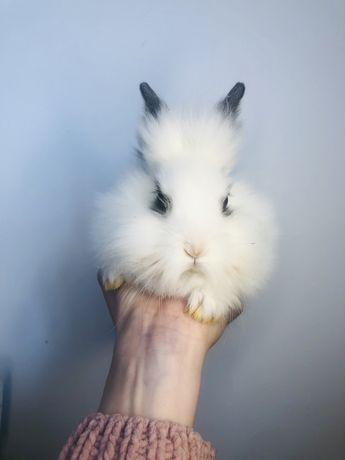 Królik króliczek karzełek teddy