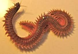 Нереис, Лиманский морской червь. Червь лиманский , октябрь,