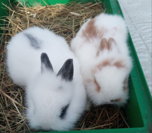 Sprzedam króliki miniaturki