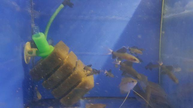 Rybki Labeo bicolor promocja