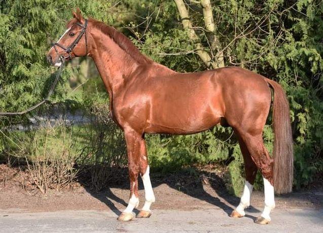 Koń Ogier żrebak
