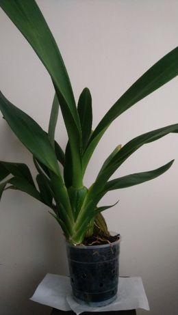 """Кімнатна рослина """"Орхідея Камбрія"""""""