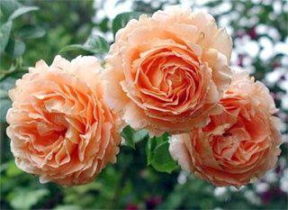 Саженцы плетистой розы крупно-цветковой Полька-91 двухлетка