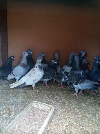 Gołębie różne rasy