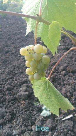 Виноград Ноа саженцы
