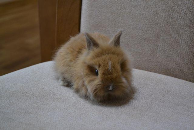 TEDY karzełek miniaturka królik króliczek