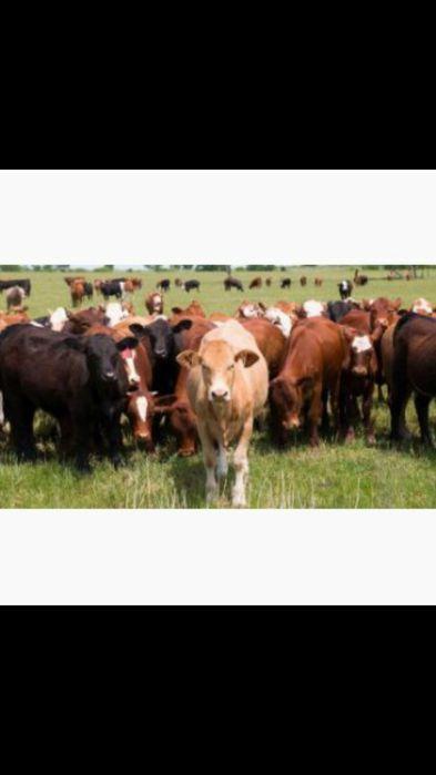 Продам бычков 50 голов от 300 кг Долинская - изображение 1
