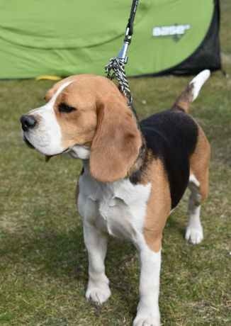 Zapowiedź Wiosennego Miotu Beagle ZKwP FCI