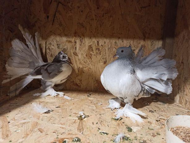 Голуби індійський павлін