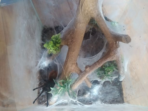 Chromatopelma cyaneopubescens  3 letnia samica