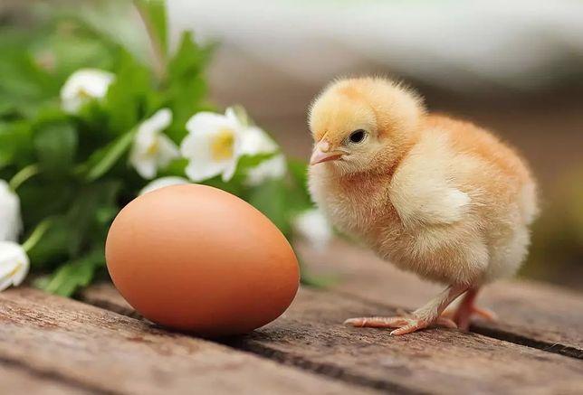 Инкубационное яйцо Росс 308