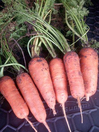 Продам морковь.Сорт АБАККО!
