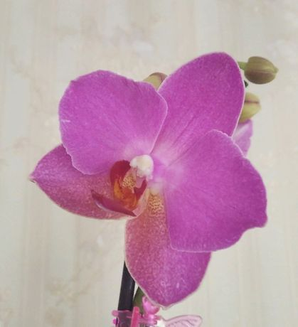 Цветущая орхидея, орхидеи