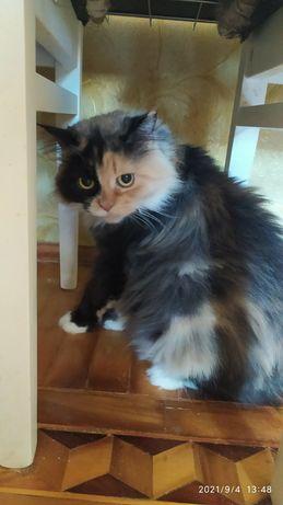 Отдам пушистую кошку трехцветку, стерилизована, привита, 4 года