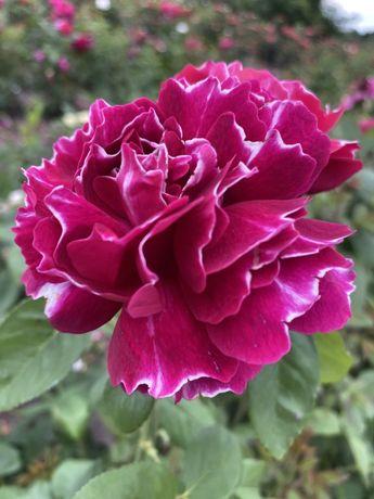 Предлагаем большой ассортимент саженцев роз!