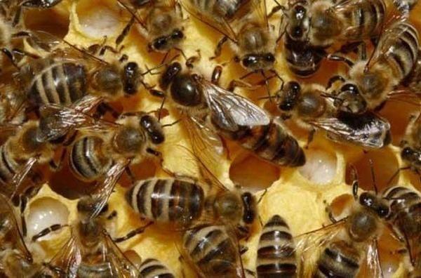 Продам бджолопакети українська степова