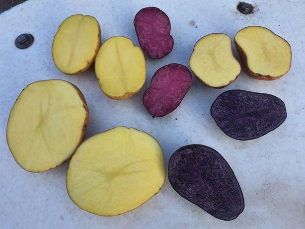 """Картопля кольорова """"Солоха"""" і """"Хортиця"""""""