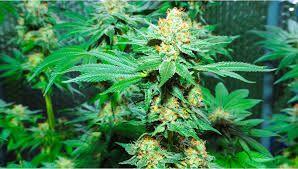 25 sztuk Auto Amnezja/Feminizowane Nasiona Marihuany
