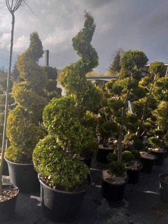 Krzewy ozdobne, tuja spirala, bonsai!!!