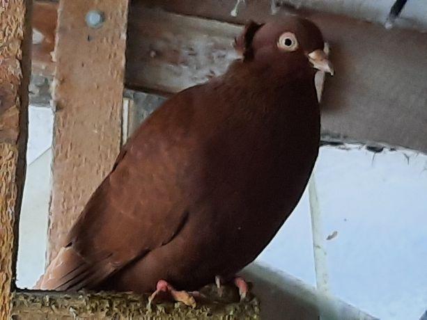 Gołębie Wywrotki - kilka sztuk
