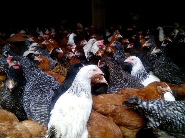 Młode kury nioski, kurki,kurczaki,kokoszki wiek od 8-21 tyg dowóz