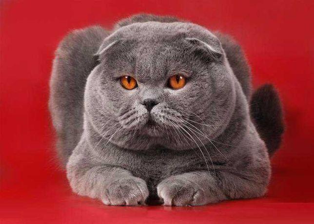 Голубой вислоухий кот вязка