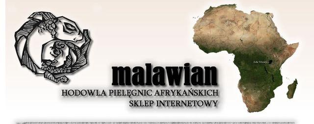 Pielęgnice afrykańskie , hodowla Malawian