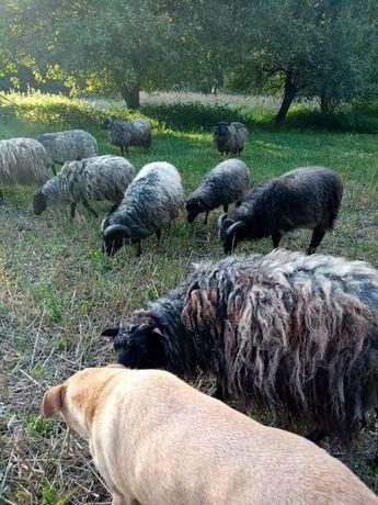 Sprzedać owce i barany