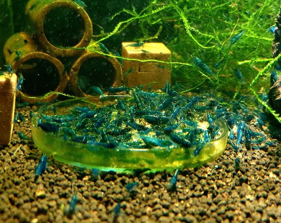 Krewetki Neocaridina Blue Velvet 25 sztuk__Częstochowa