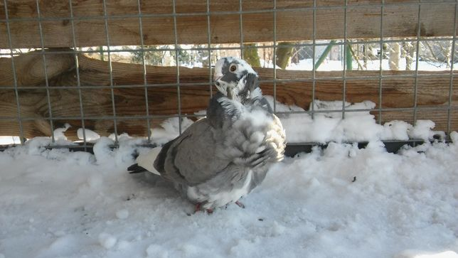 Mewka Chińska samica (gołębie)