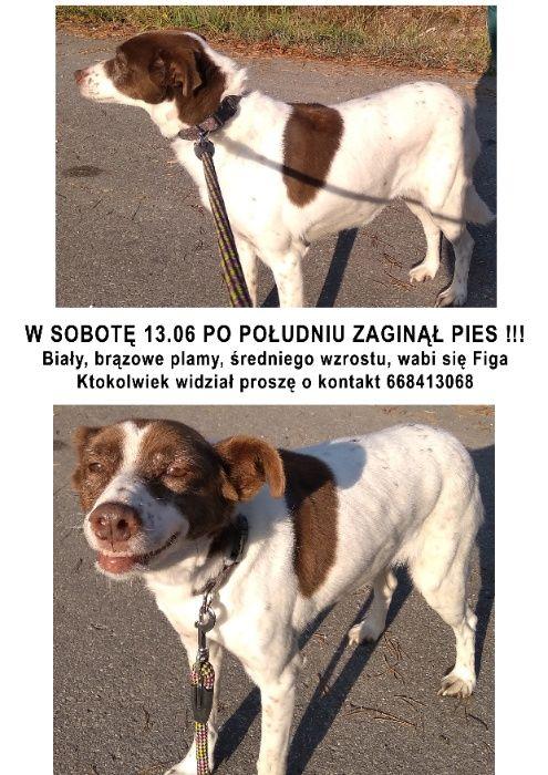 Zaginął pies Busko Gacki Pińczów Ponidzie !!! Gacki Osiedle Robotnicze - image 1